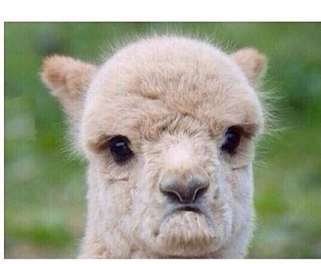sad-or-angry-llama